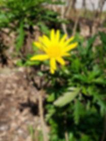yellow flower_2.jpg
