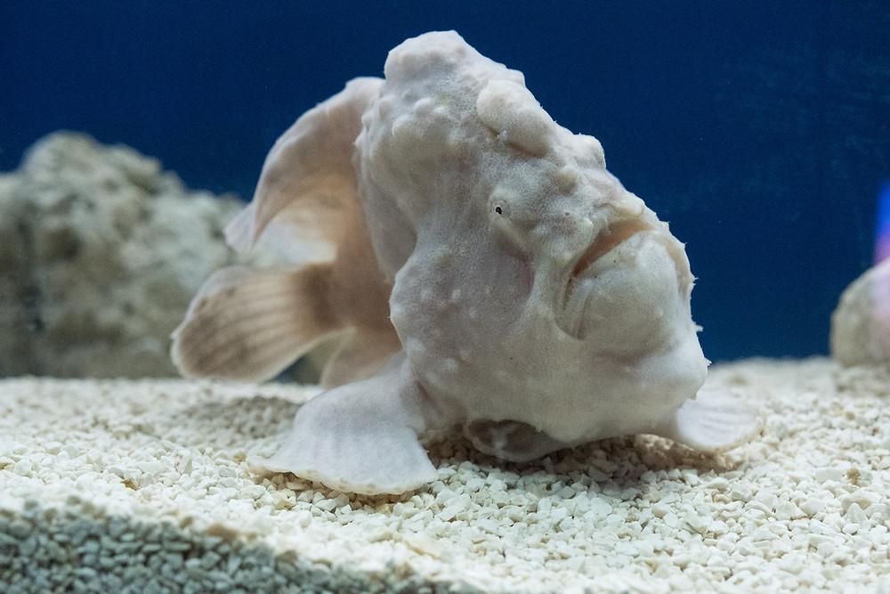 פיתונאי, דג שידוע גם בשם דג הצפרדע