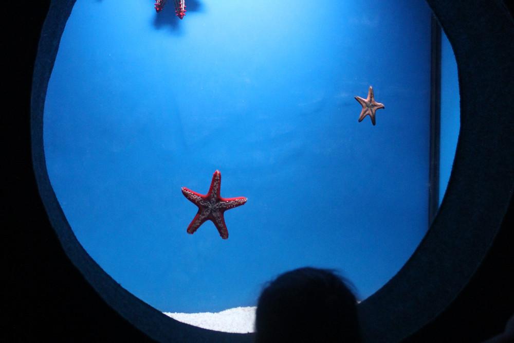 כוכבי ים על חלון תצוגה באקווריום ישראל