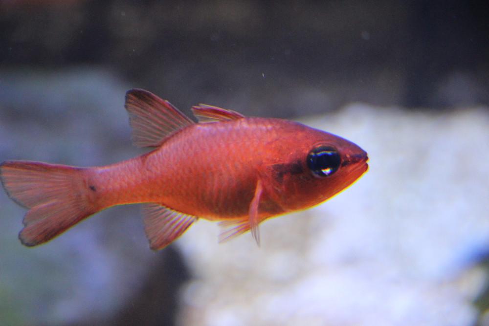 אפוגון ים תיכוני, דג קטן וכתמתם