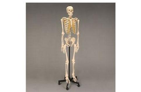 Male Skeleton