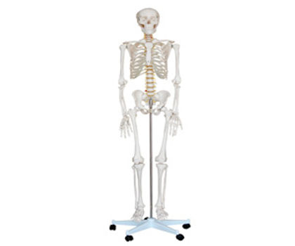 Life Size Skeleton 180cm Tall On A Pelvic Mounted Stand)