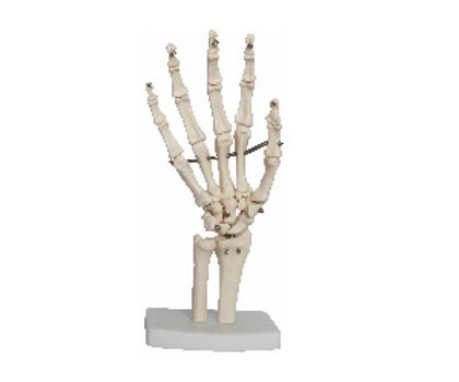 Life Size Hand Joint