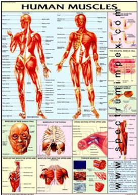 Human Physiology Charts - Set Of 31 Charts