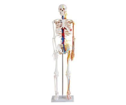 Medium Skeleton With Nerves And Blood Vessels