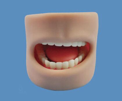 Teeth Model In Oral Cavity