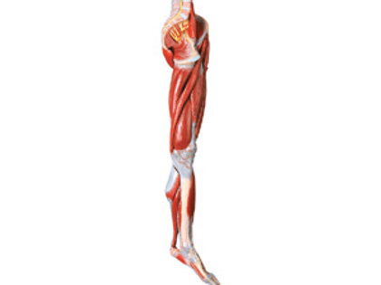 Muscles Of Leg With Main Vessels And Nerves