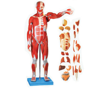 Full Size Human Body Showing Muscles & Organs (86 Cm)