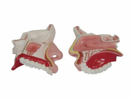 Model Of The Anatomical Nasal Cavity