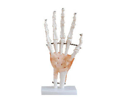 Life Size Hand Joint With Ligaments