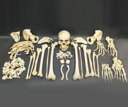 Replicas Of The Original Human Disarticulated Skeleton