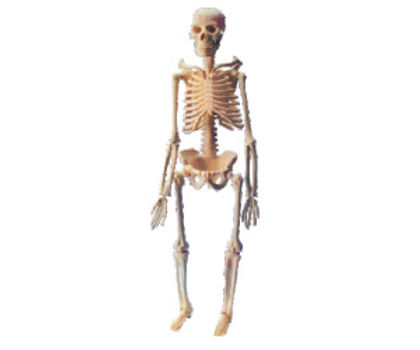 Mini Skeleton With Stand