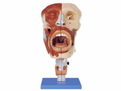 Nasal, Oral, Pharynx And Larynx Cavities