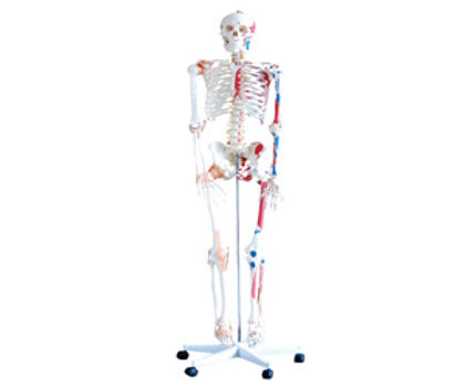 Life Size Human Skeleton (180cm) With Muscles & Ligaments On Pelvic Mounted Stan