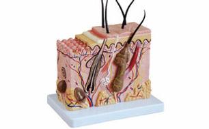Skin Block Model.jpg