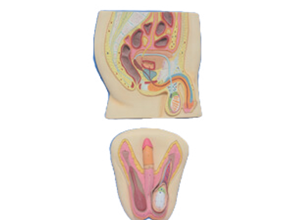 Human Reproductive System Male