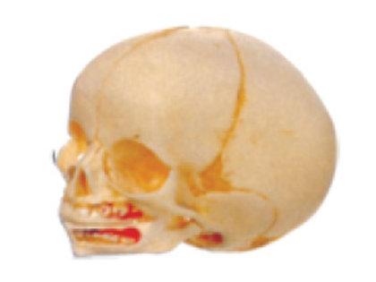 Infant Skull