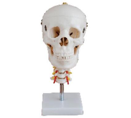 Skull With Cervical Spine