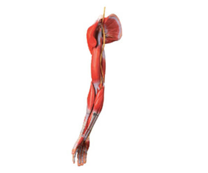 Muscles Of Arm With Main Vessels And Nerves