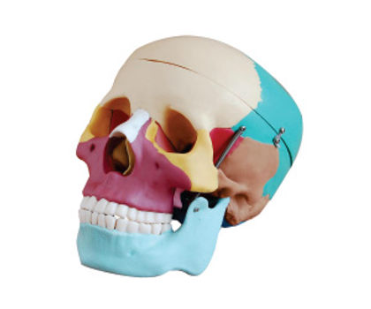 Life-size Colored Skull