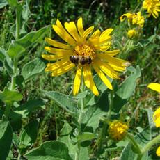 abeille sur doronic