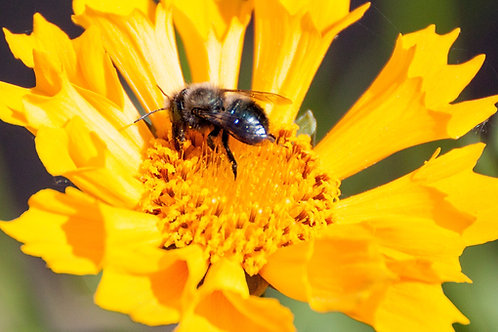 2021 Mason Bees