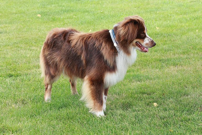 Nebraska, Australian Shepherds | Older Puppies / Adults ...