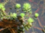 weed_parfeather2_gm.jpg