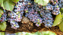 How To Book Temecula Wine Tours From San Diego