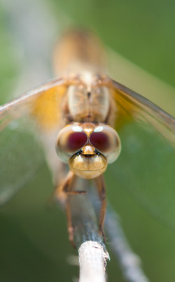 Camargue Dragonfly