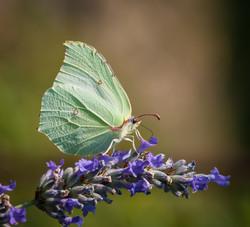 Butterfly Gonepteryx Rhamni_9394543195_o