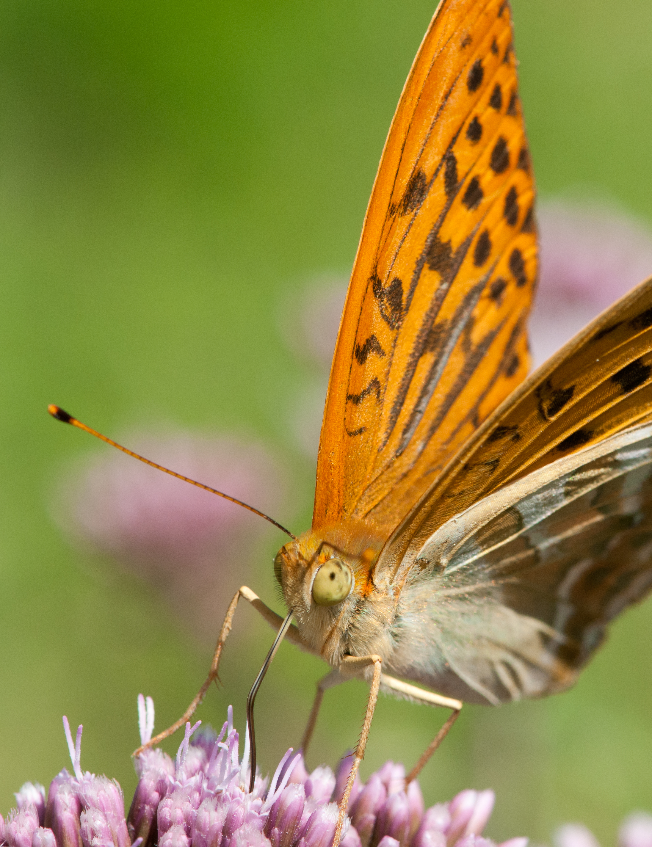Butterfly Argynnis Paphia_5978570561_o