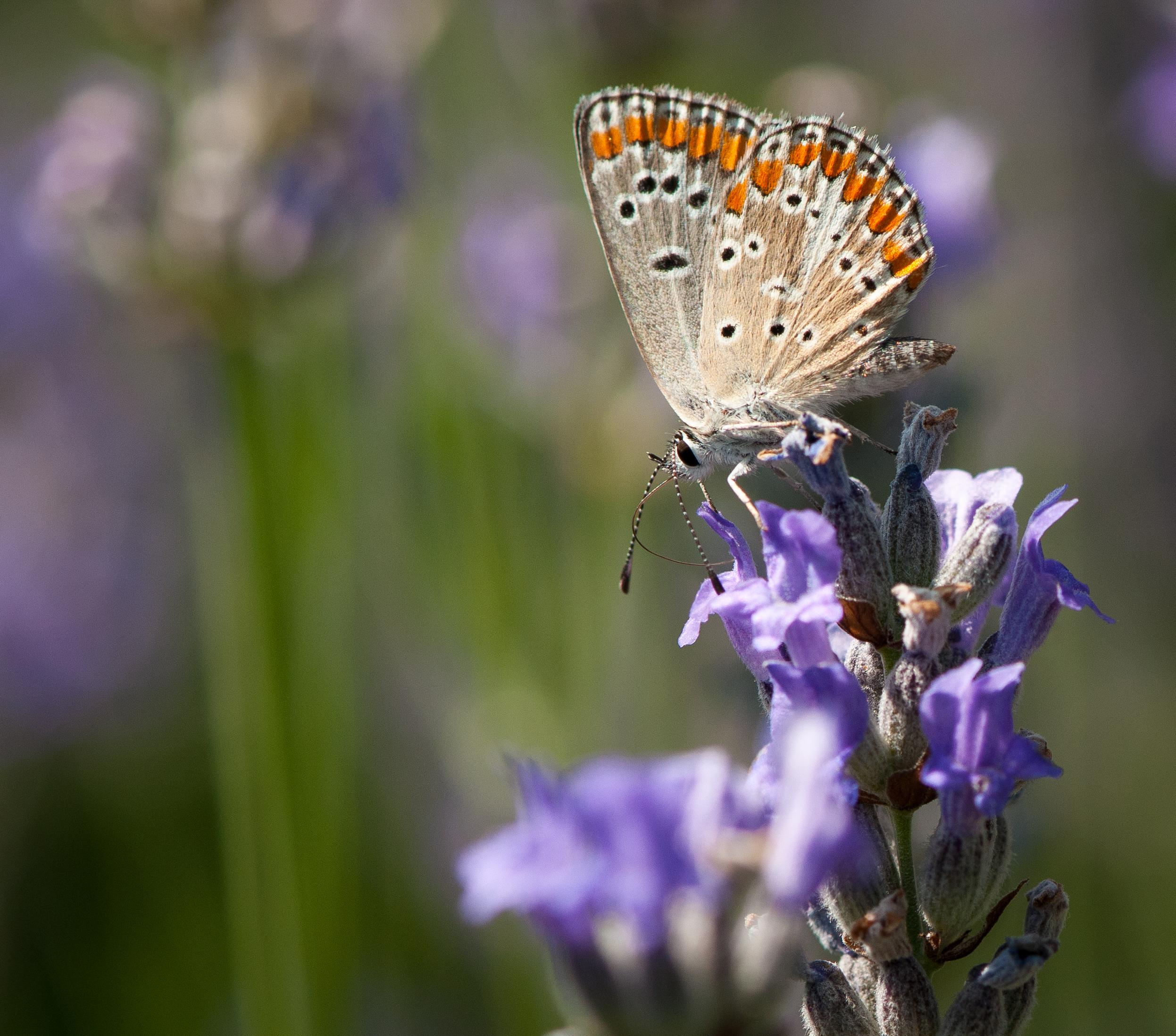 Butterfly Lycaenidae_9477321725_o