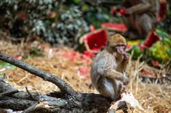 Moroccan Monkey