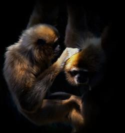 Gibbons Monkeys