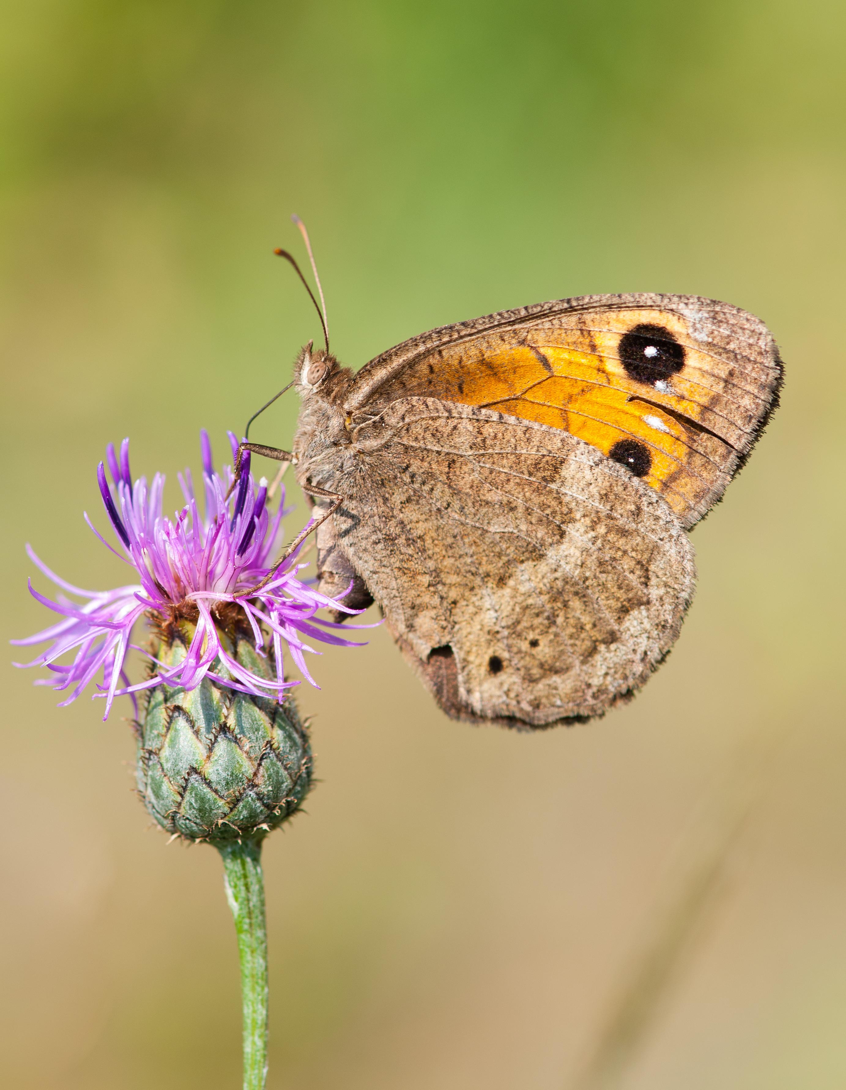 Butterfly Maniola Jurtina_9480056134_o