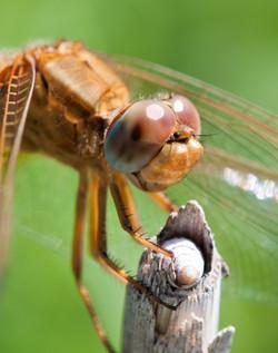 Camargue Dragonfly_5950956879_o