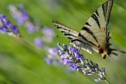 Butterfly Podalirio_9397303384_o
