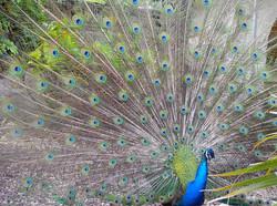 Flirting Peacock