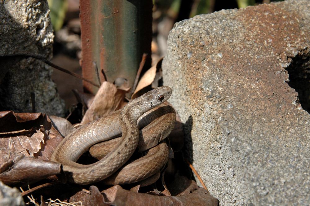 Yard Snake