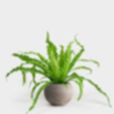 birds nest fern.jpg