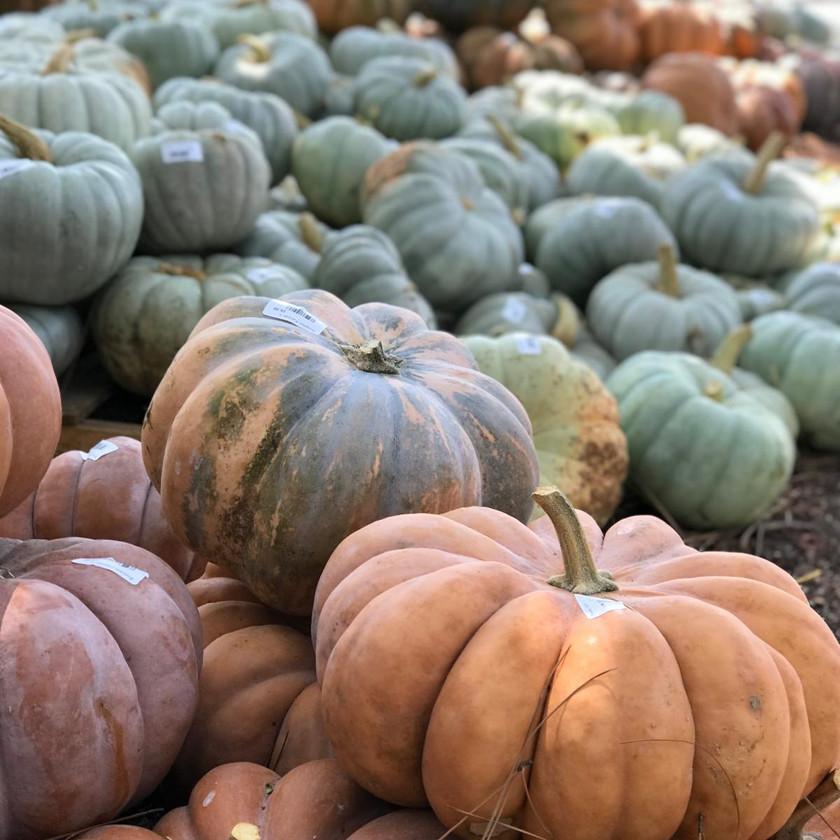 Plenty of Heirloom Pumpkins