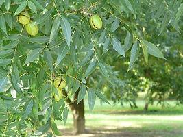 pecan_tree_6_600x.jpg