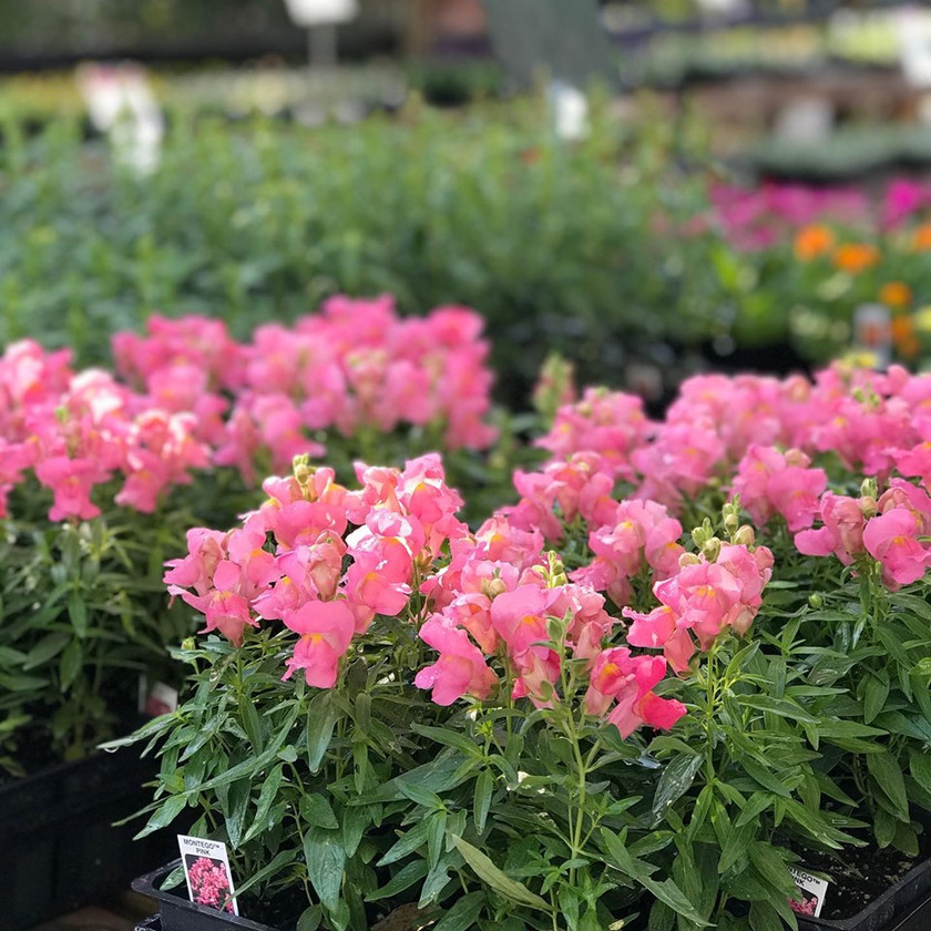 Cute Little Snapdragons