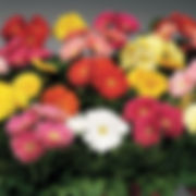 gerbera-flower-plant-500x500.jpg