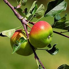 anna apple.jpg