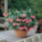 dragonwing begonia.jpg