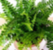 lemon button fern.jpg