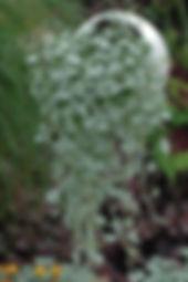 dichondra.jpg