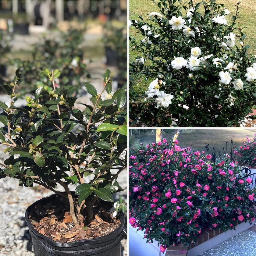 Dwarf Camellias are Budded and Ready for you